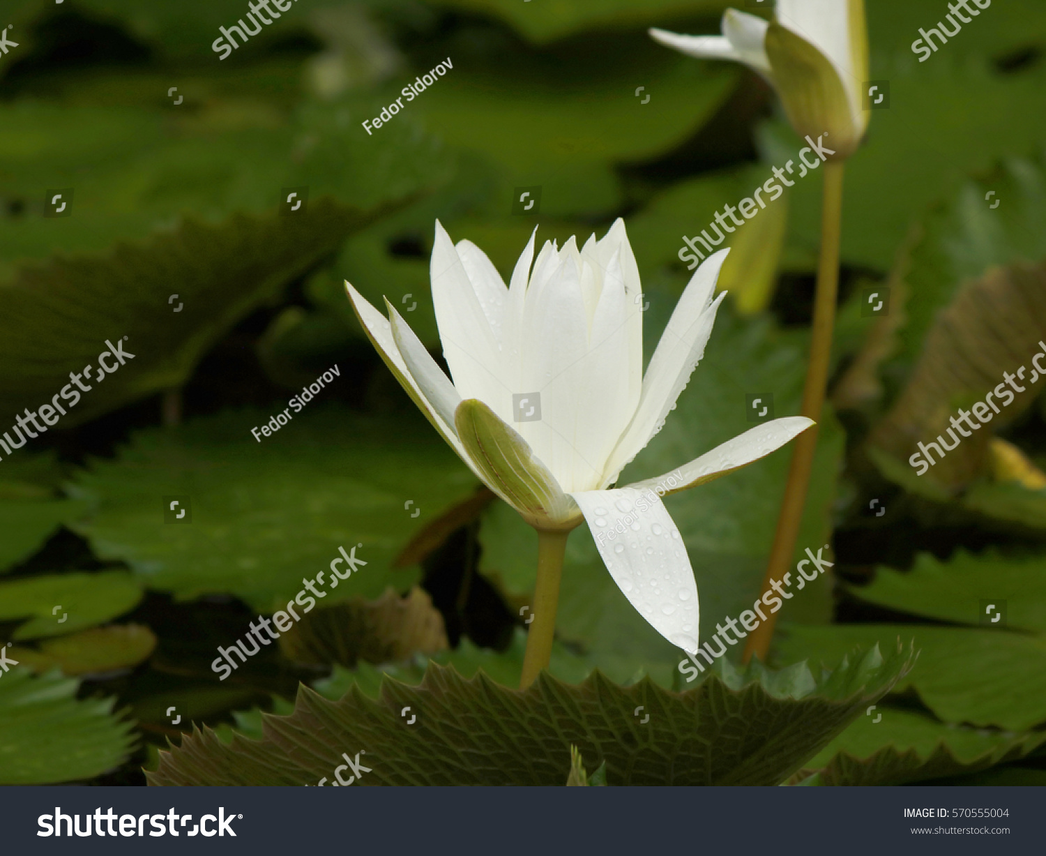 Small white water lily flower water stock photo edit now 570555004 a small white water lily flower with water drops on a petal izmirmasajfo