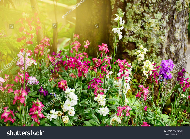 Beautiful flowers blooming garden stock photo 570749422 shutterstock beautiful flowers blooming in garden izmirmasajfo Images