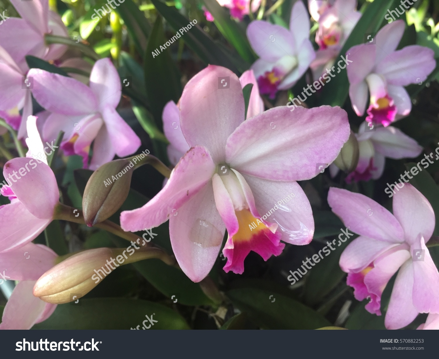 Beautiful orchid flowers blurry background white stock photo edit beautiful orchid flowers in a blurry background white and pink orchid flower in nature queen of izmirmasajfo