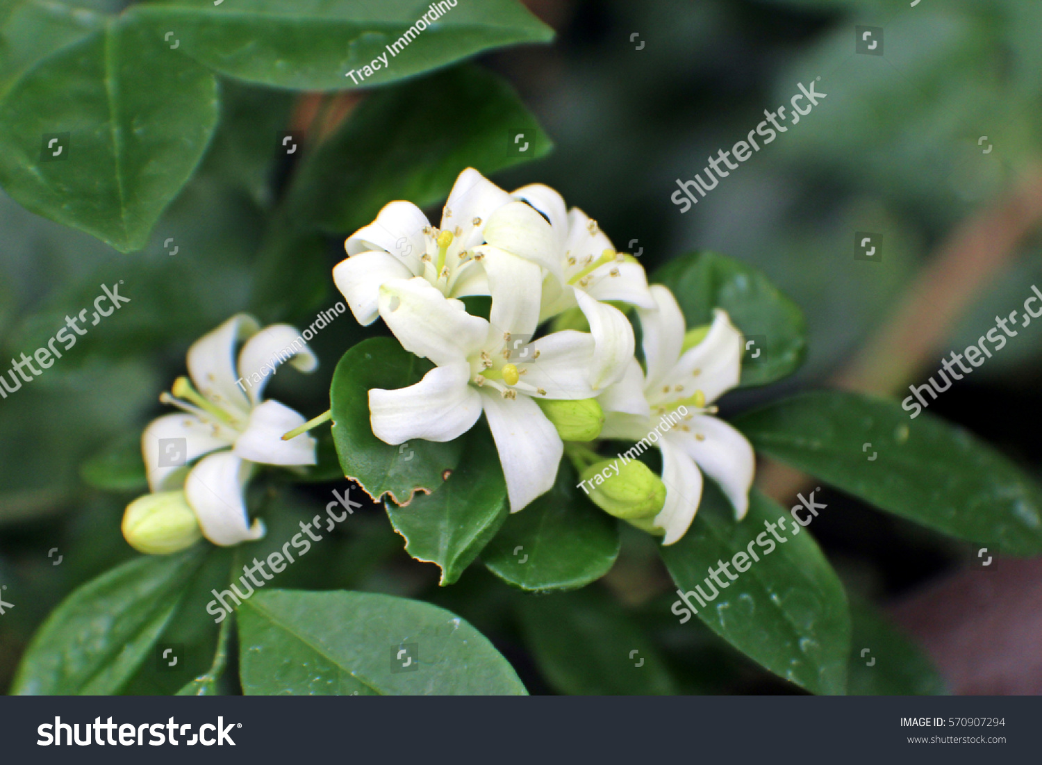 A Close Up Of A Cluster Of Small White Flowers And Flower Buds On A