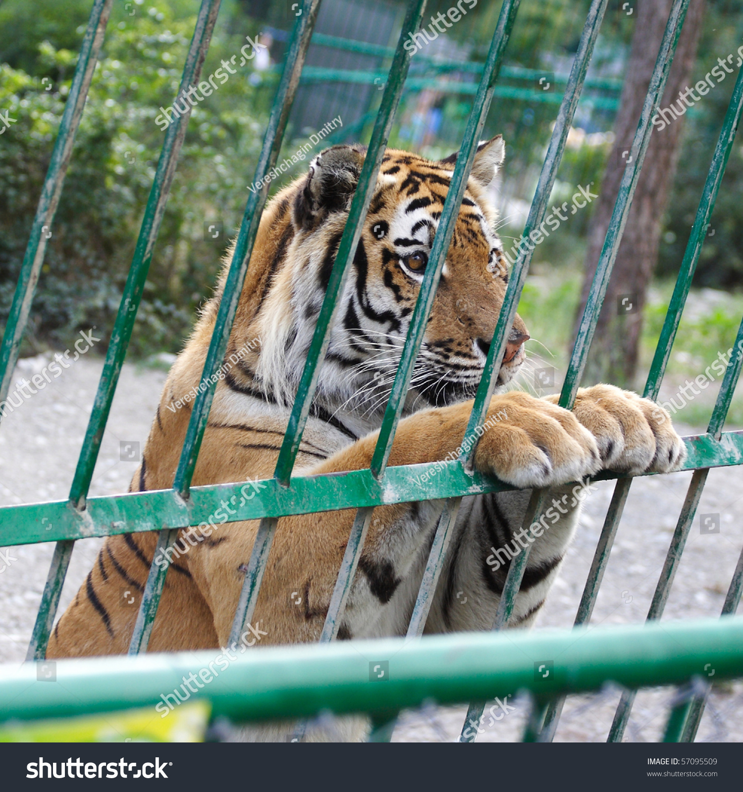 Image tiger cage stands sweet pose stock photo 57095509 shutterstock - Tiger in cage images ...
