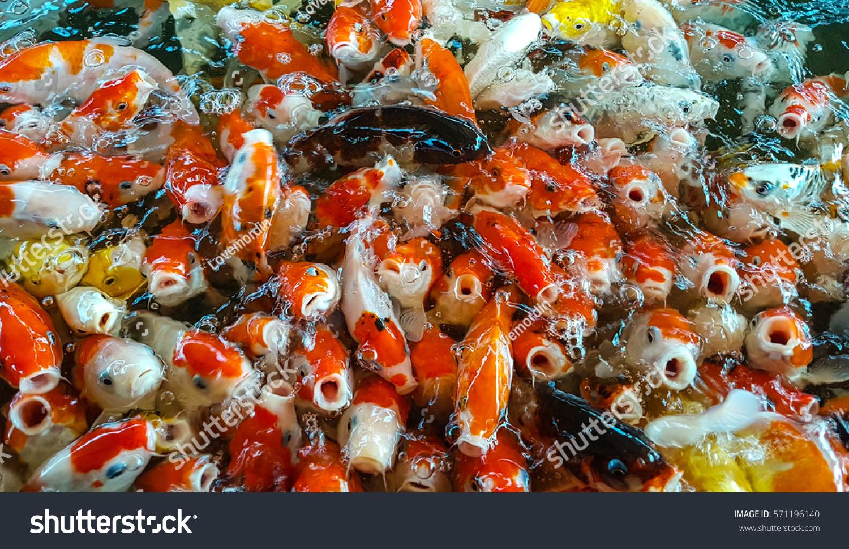 Colour Crap Fish Koi Fish Stock Photo (Royalty Free) 571196140 ...