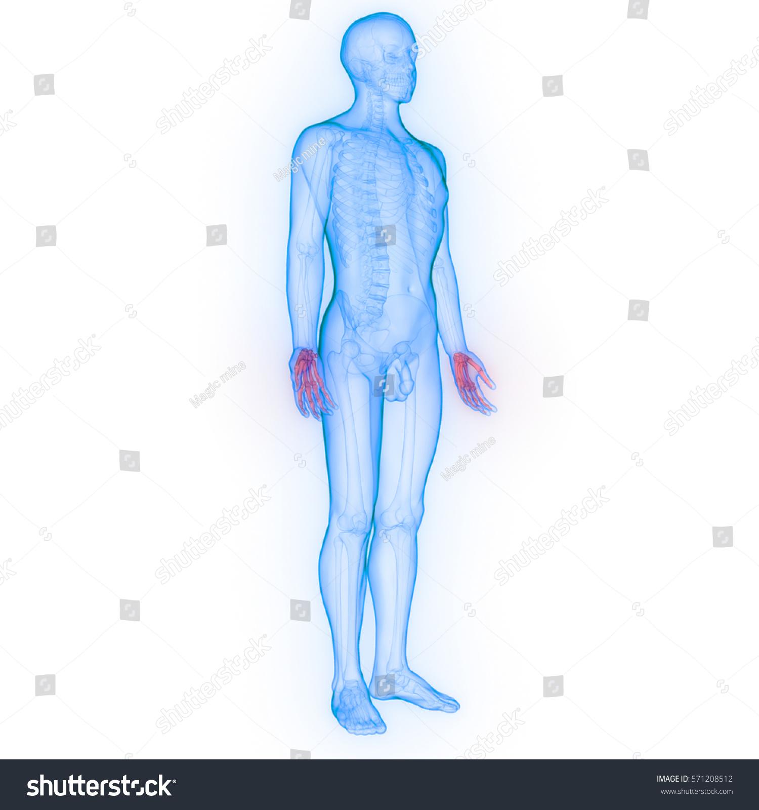 Human Body Bone Joint Pains Anatomy Stock Illustration 571208512 ...