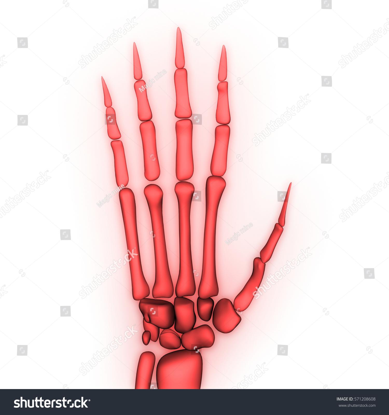 Human Body Bone Joint Pains Anatomy Stock Illustration 571208608 ...