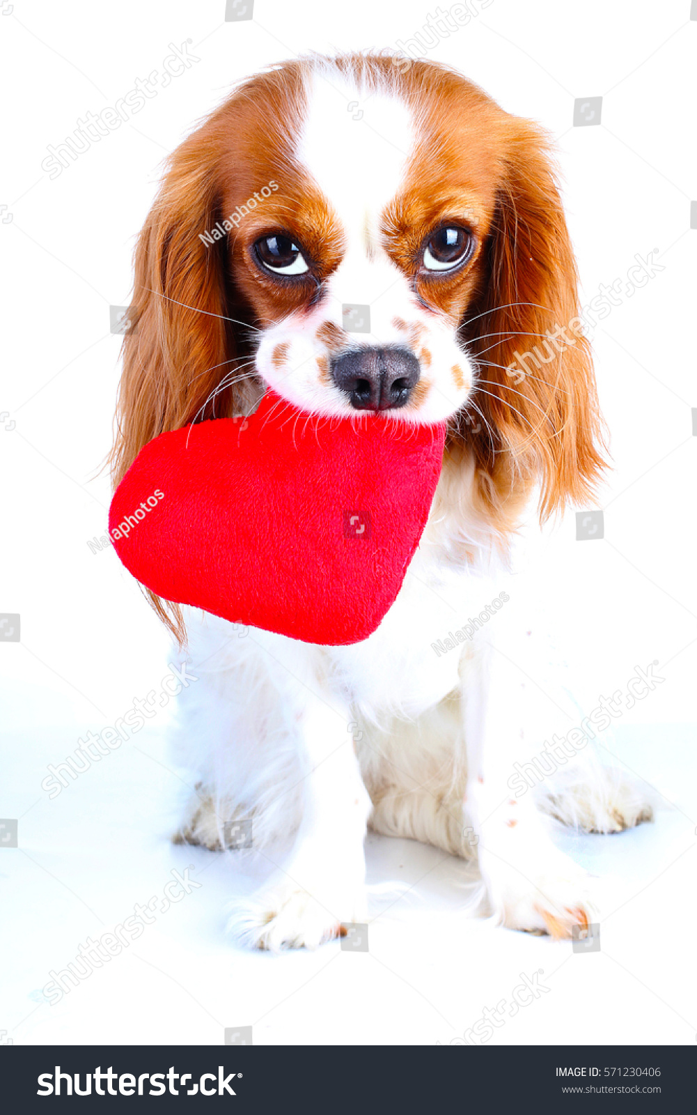 Dog With Heart. Cavalier King Charles Spaniel Valentine U0027s Day  Illustration. Plush Red