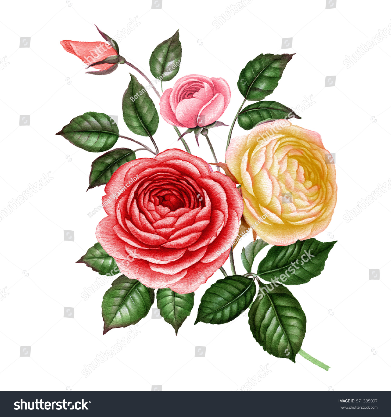Red Rose Watercolor White Rose Watercolor Stock Illustration