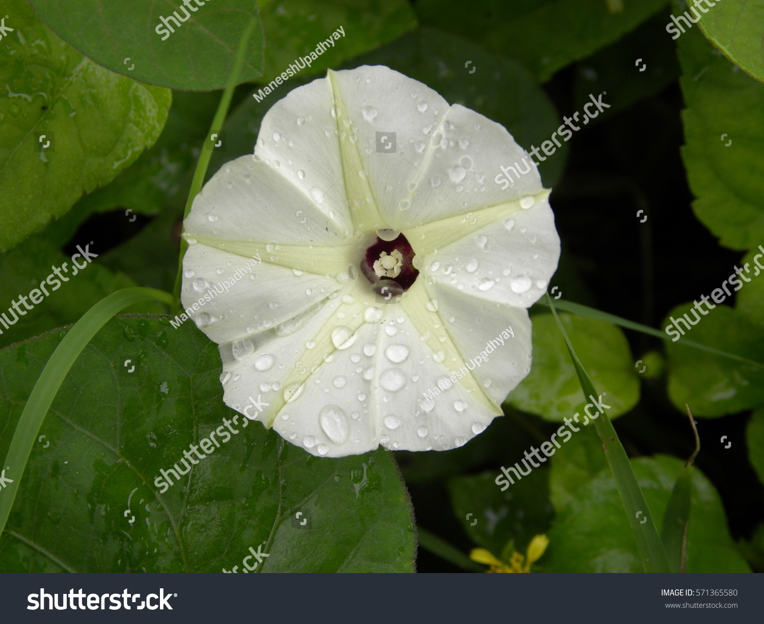 Royalty Free Close Up Of White Flower With Yellow 571365580 Stock