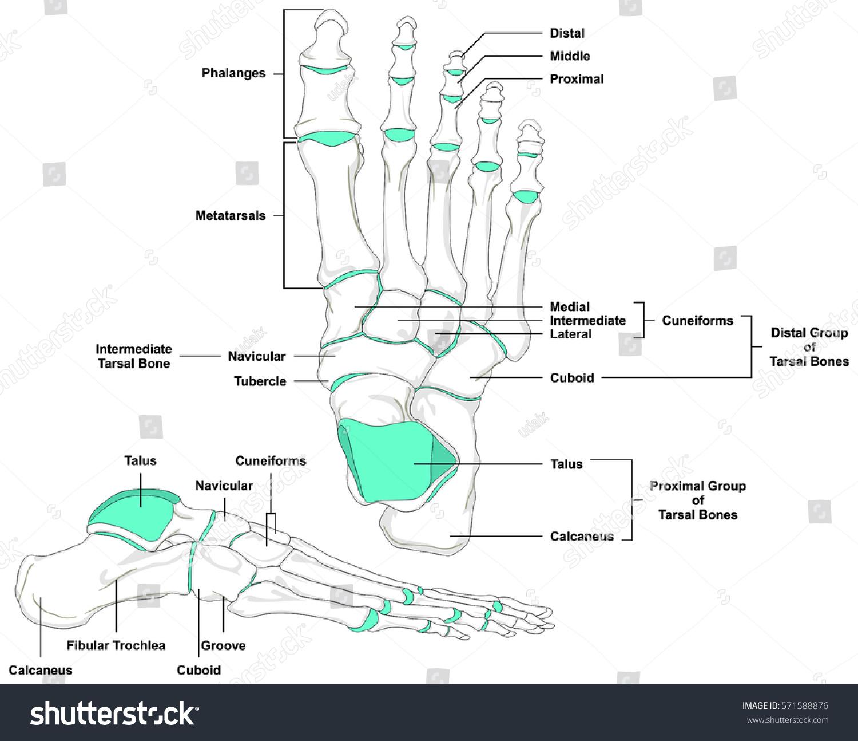 Human Foot Bones Anatomy Diagram Anatomical Stock Illustration ...