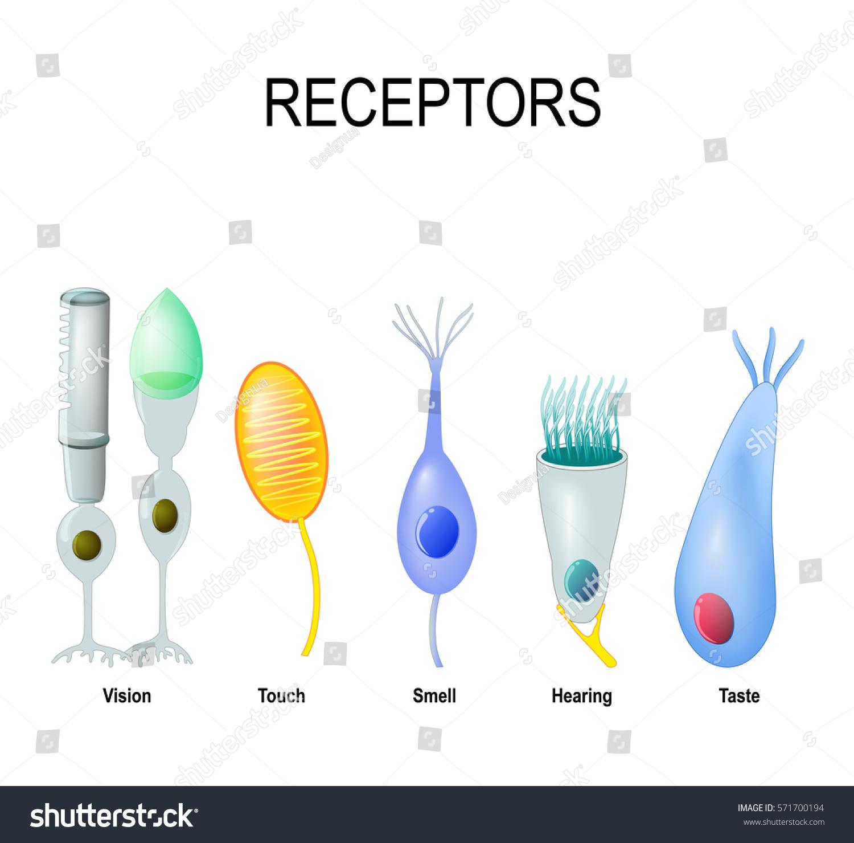Cell Receptor