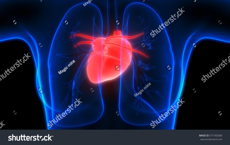 Mri cardiac anatomy