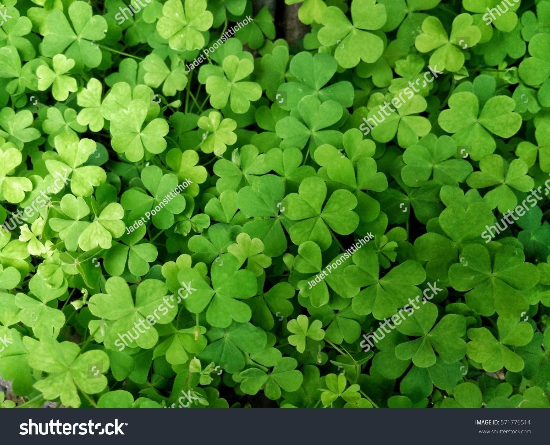 Leaf clover #571776514