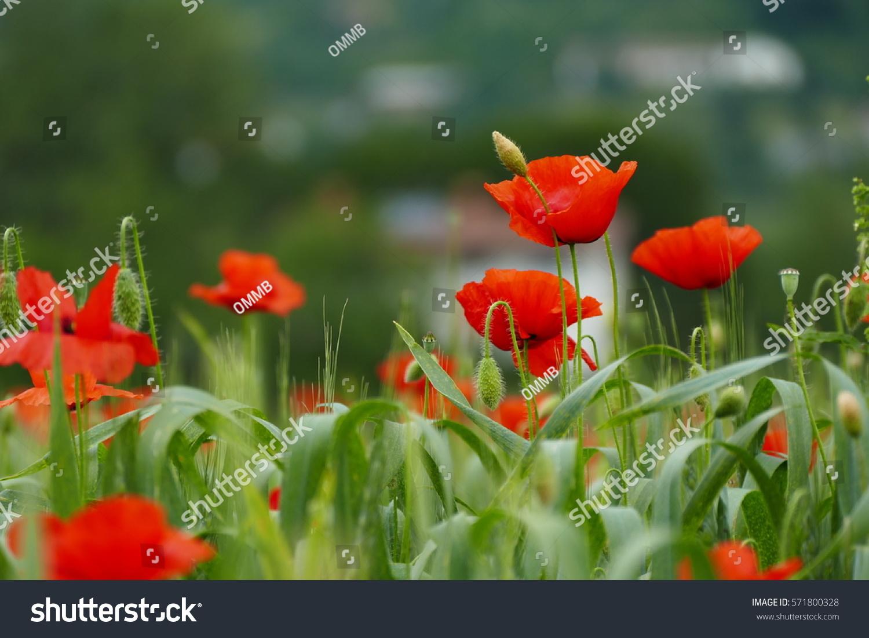 Field Of Poppy Flowers Ez Canvas