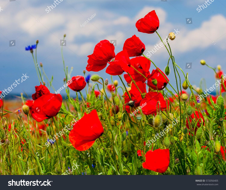 Wild Flowers On Fields Poppy Red Stock Photo Edit Now 572056405
