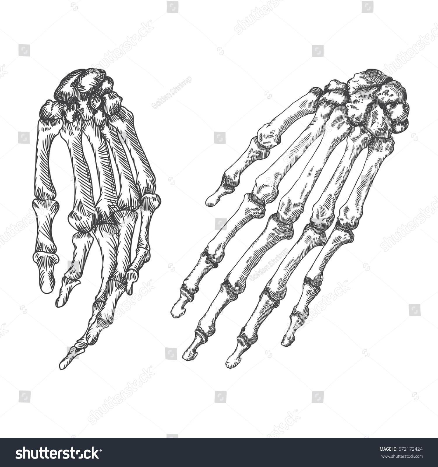 Human Bones Skeleton Hand Wrists Drawing Stockillustration 572172424