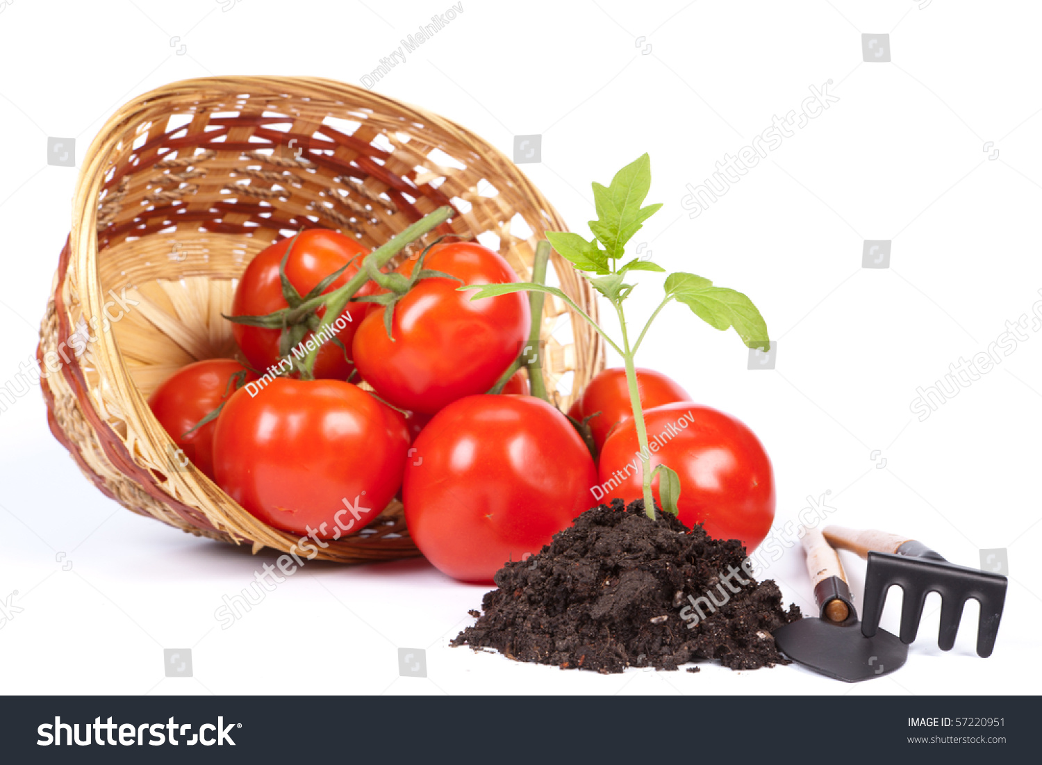 Small Sprout Garden Tools Fresh Tomatoes Stock Photo 57220951