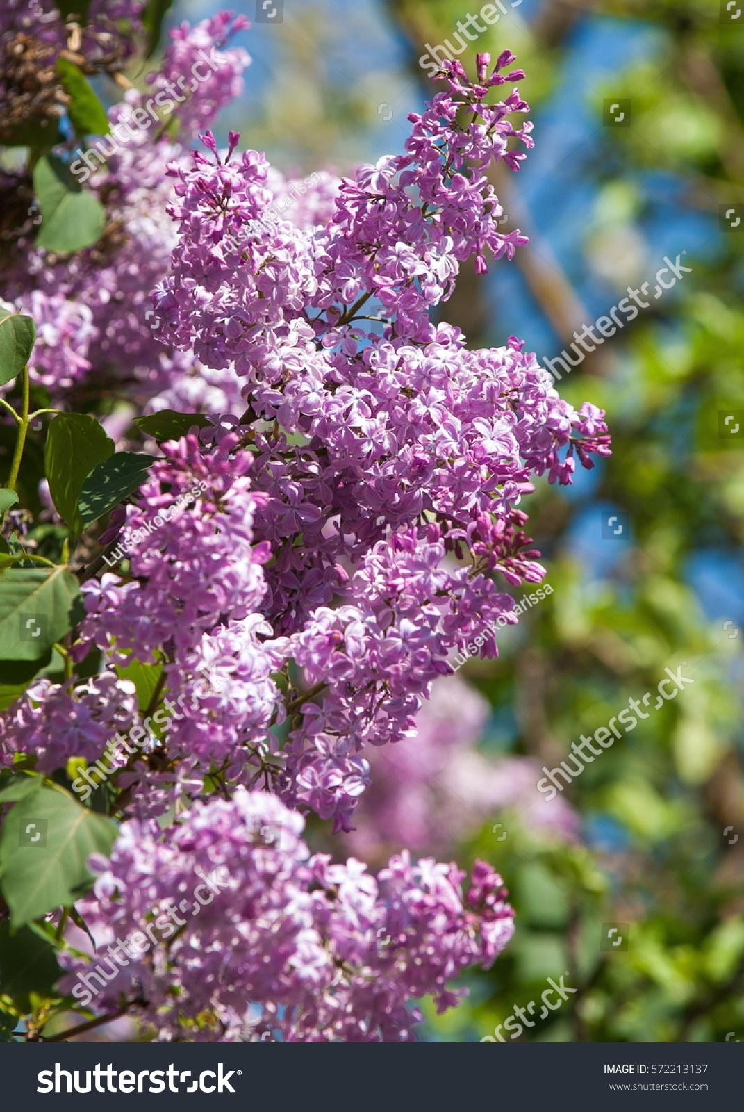 Lilac Flowers Large Garden Shrub Purple Stock Photo 572213137