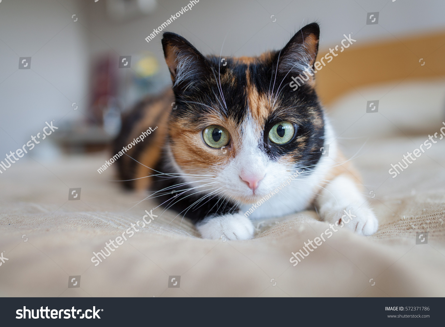 Cute Kitty Laying Bed Stock Shutterstock