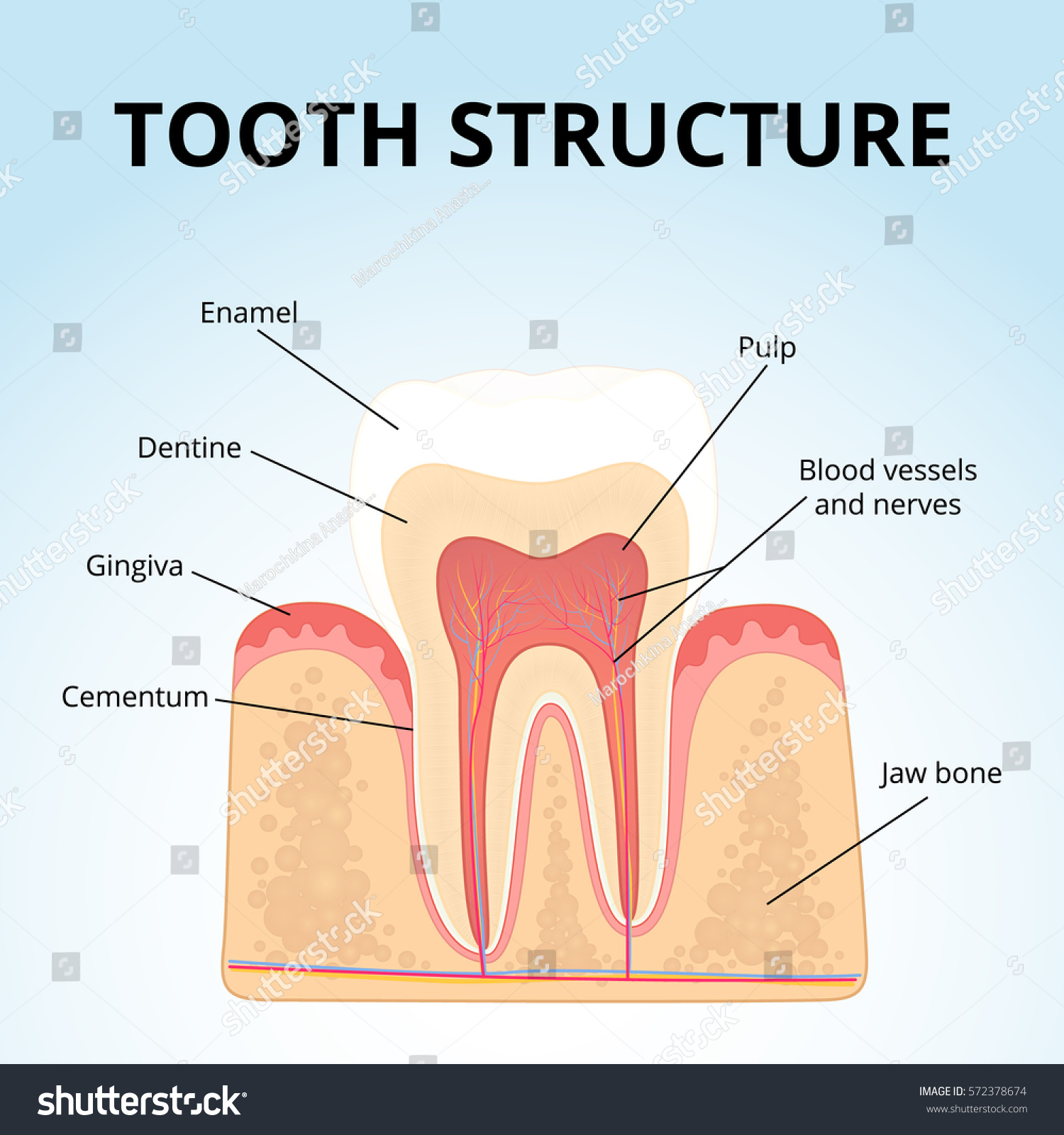 Structure human teeth medical diagram structure stock vector the structure of human teeth medical diagram of the structure of the inside cross pooptronica Images