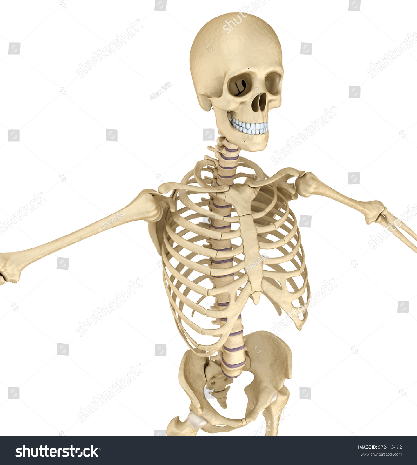 Human Skeleton Breast Chest Front View Stock Illustration 572413492