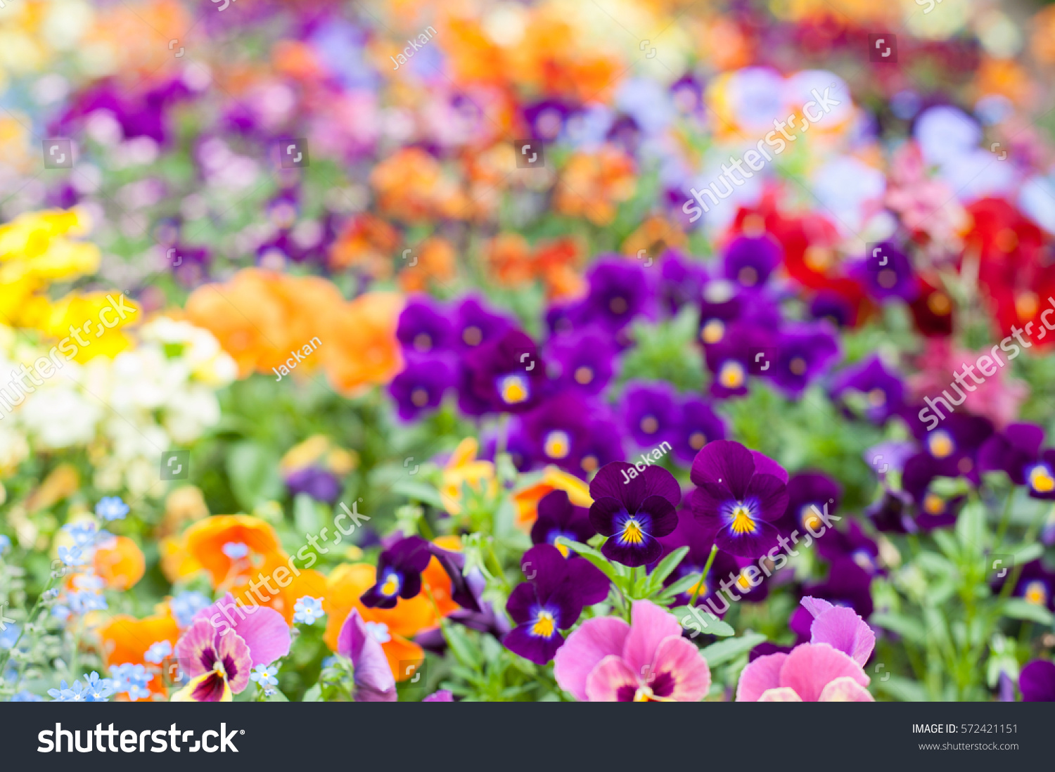 Colorful Spring Flowers Background Stock Photo Edit Now 572421151