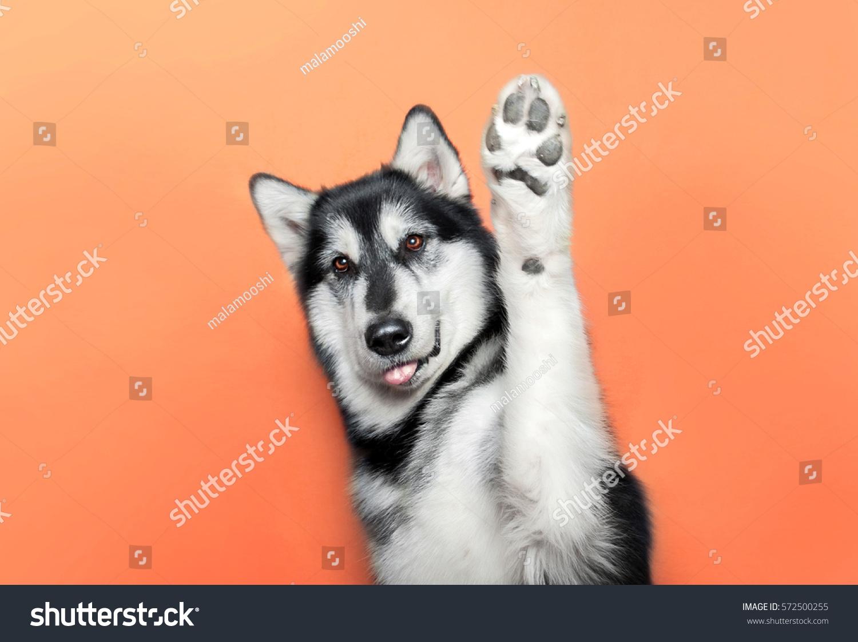 dog raise a paw up #572500255