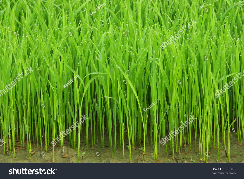 green grass morning dew wallpaper actually stock photo (100% legal