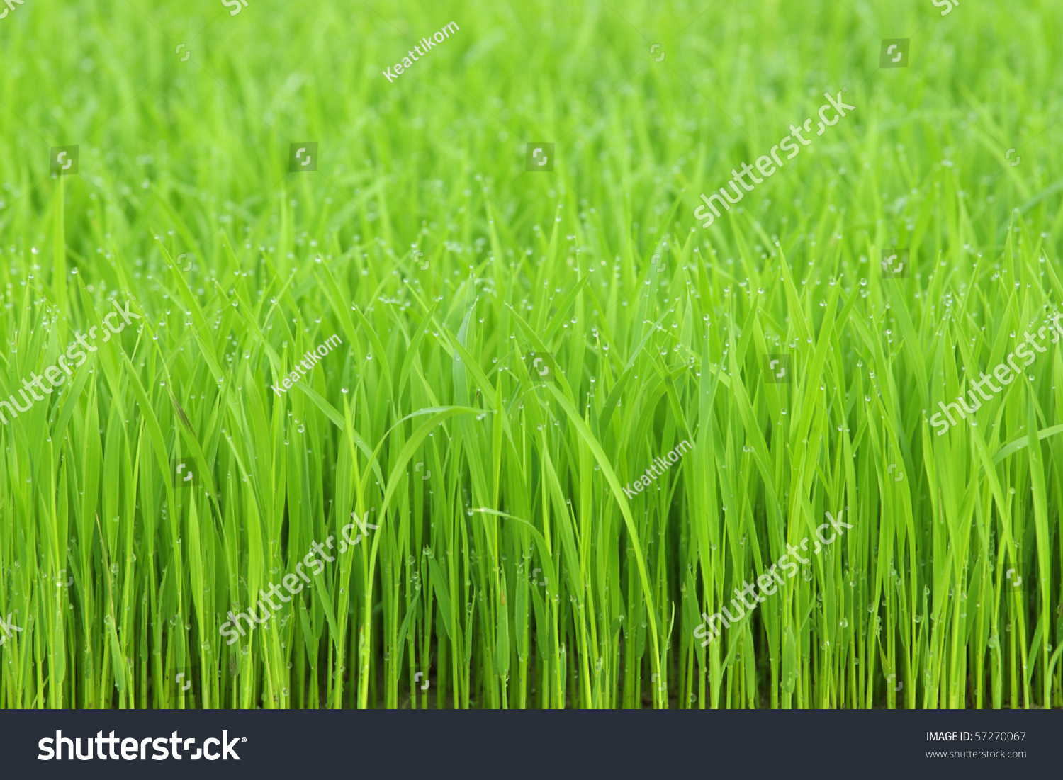 green grass morning dew wallpaper actually stock photo (download now