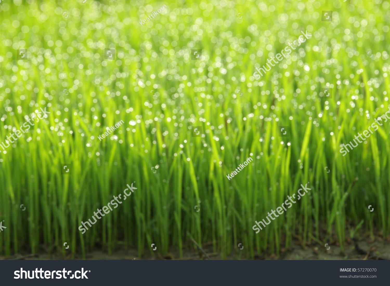 green grass morning dew wallpaper actually stock photo & image