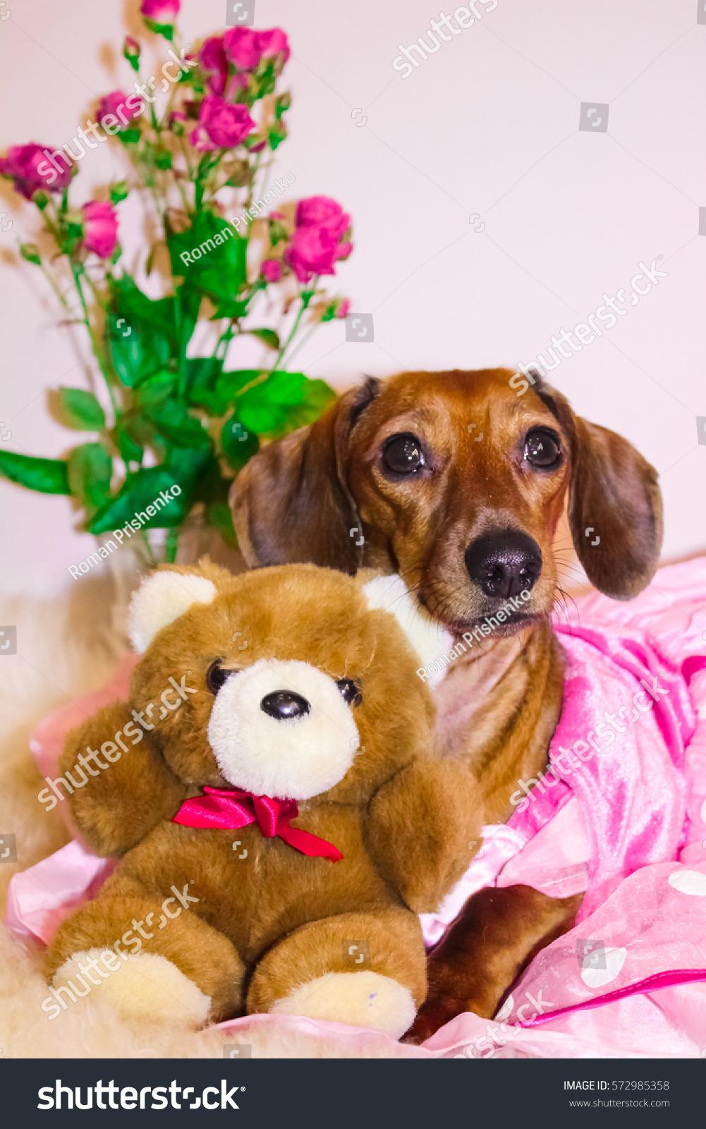 Dachshund Princess Pink Dress Valentines Day Stock Foto 572985358
