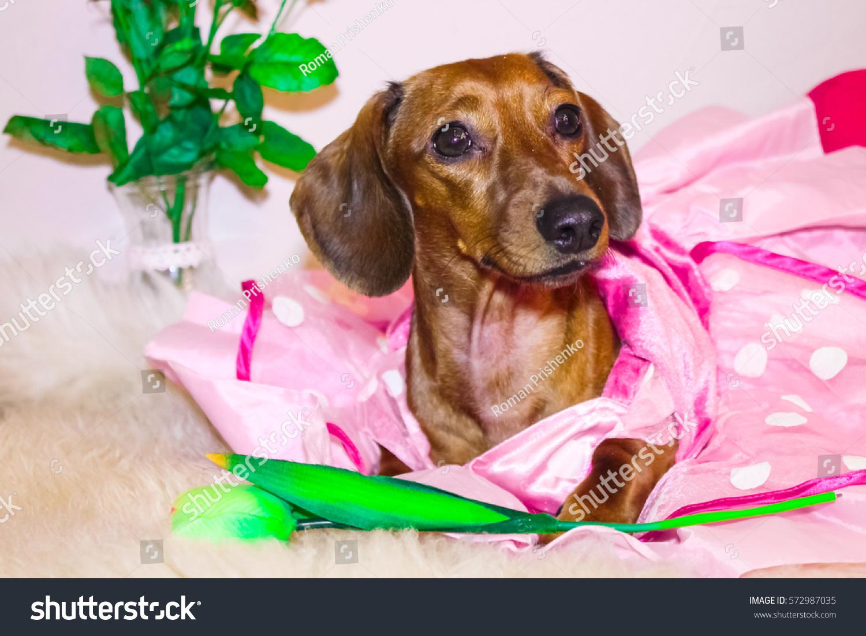 Gemutlich In Italiano : Dachshund Princess Pink Dress Valentines Day Stock Foto 572987035