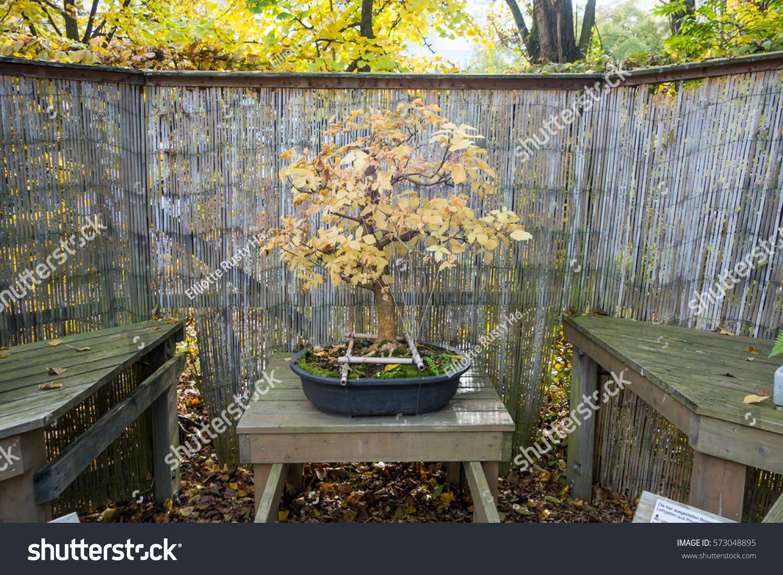 Box Elder Bonsai Acer Negundo Stock Photo Edit Now 573048895