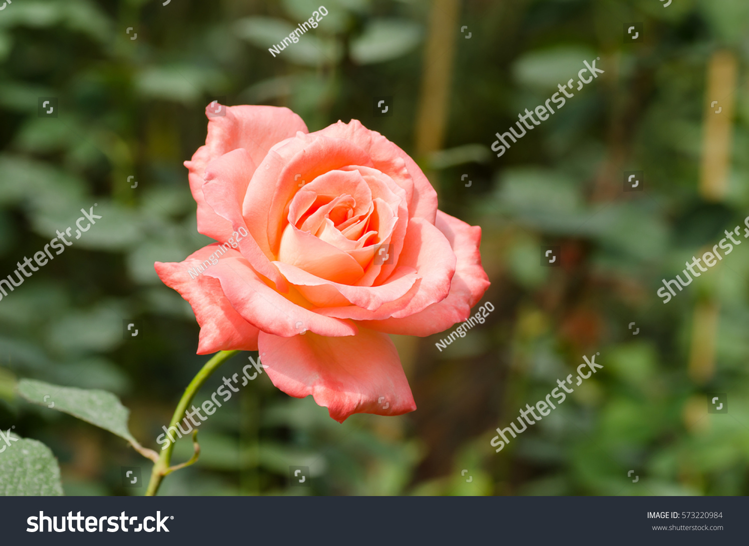 Rose in the garden rose flowers decoration floral background ez rose in the garden rose flowers decoration floral background ez canvas izmirmasajfo