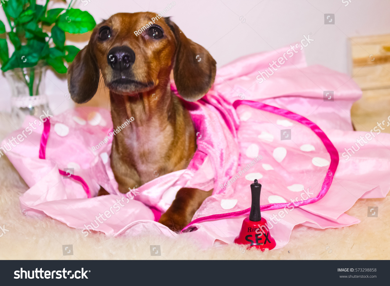 Gemutlich In Italiano : Dachshund Princess Pink Dress Valentines Day Stock Foto 573298858