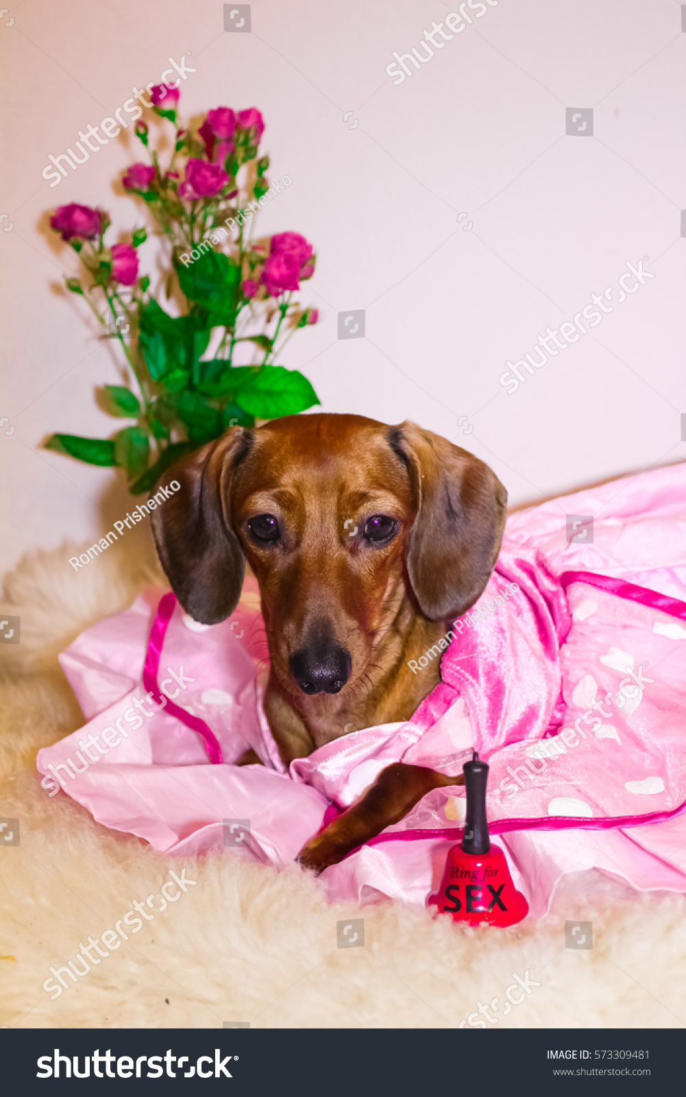 Gemutlich In Italiano : Dachshund Princess Pink Dress Valentines Day Stock Foto 573309481