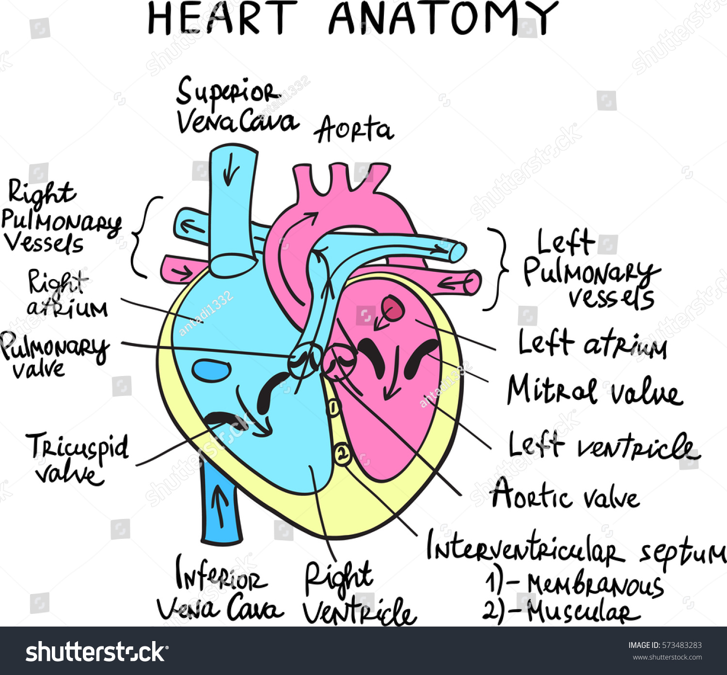 Heart Anatomy Drawing Handdrawn Letters Stock Vector Royalty Free