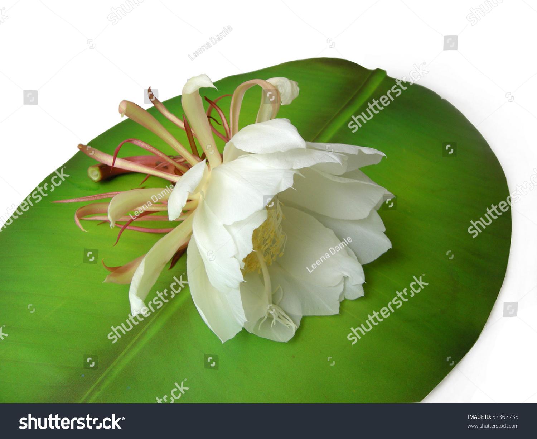 Bramha Kamal Rare Lotus Named After Stock Photo Royalty Free