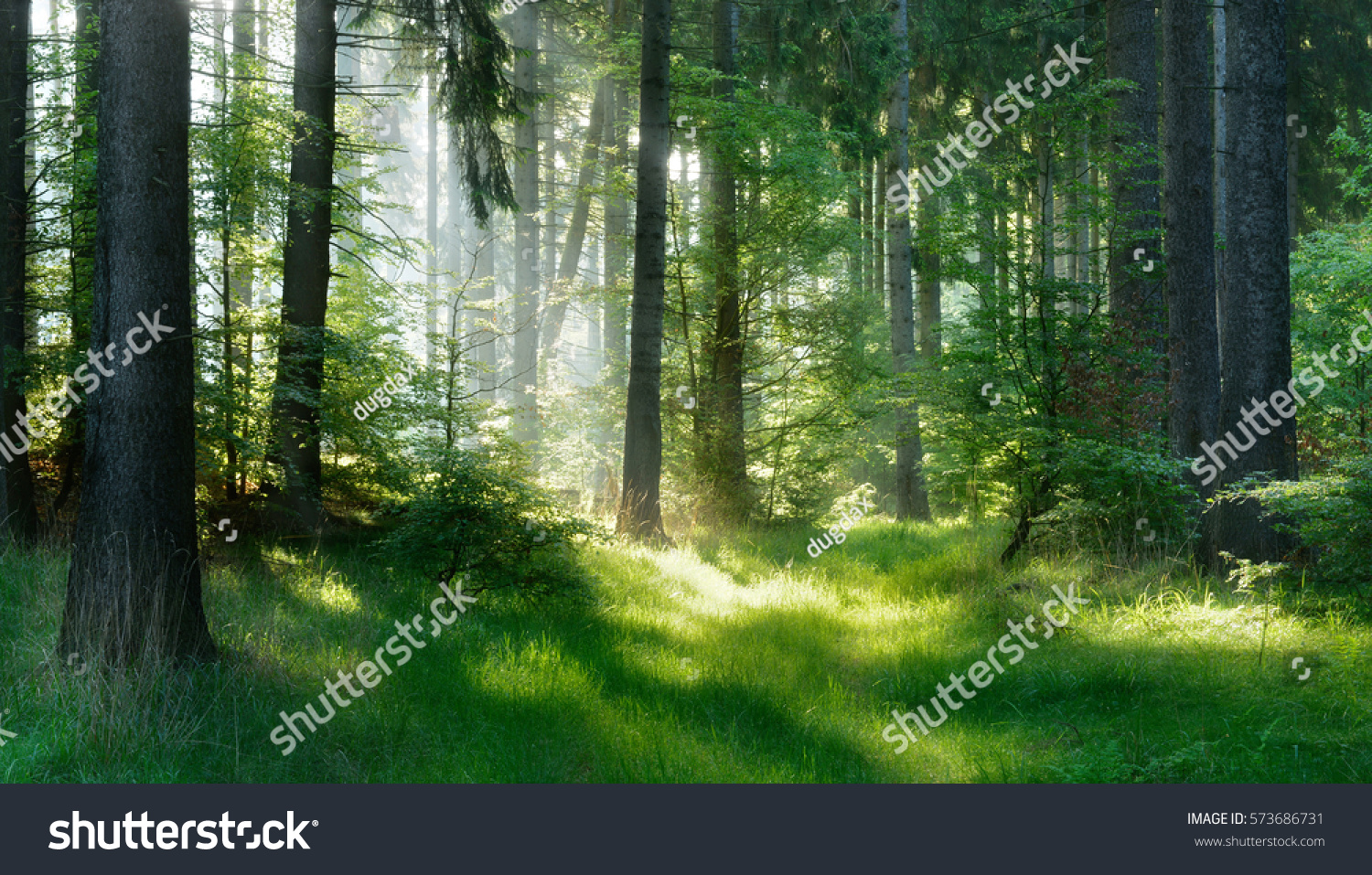 Natural Forest of Spruce Trees, Sunbeams through Fog create mystic Atmosphere #573686731