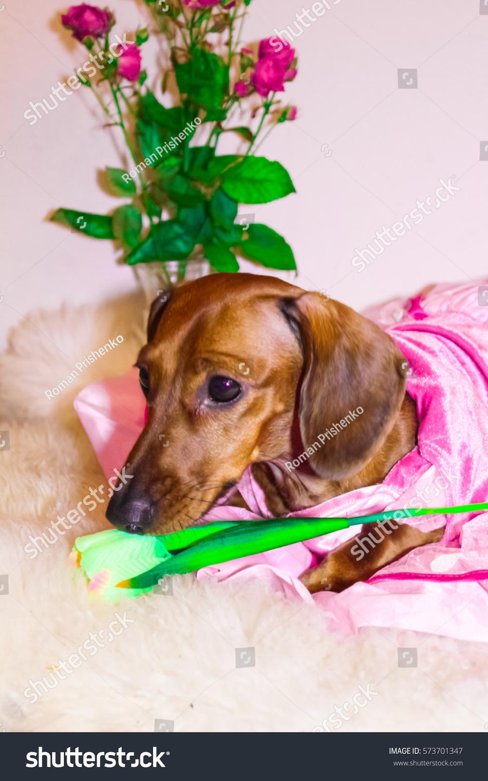 Gemutlich In Italiano : Dachshund Princess Pink Dress Valentines Day Stock Foto 573701347