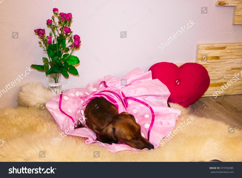 Gemutlich In Italiano : Dachshund Princess Pink Dress Valentines Day Stock Foto 573702985
