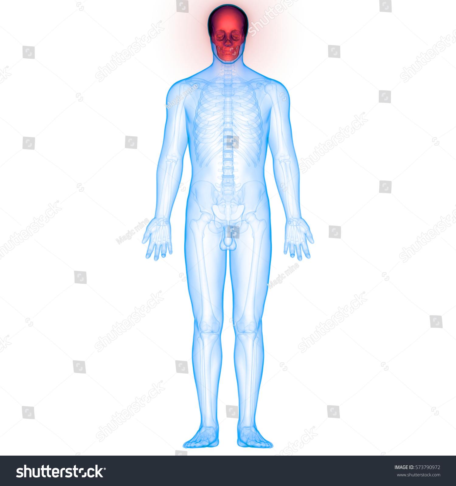 Human Body Bone Joint Pains Anatomy Stock Illustration 573790972 ...