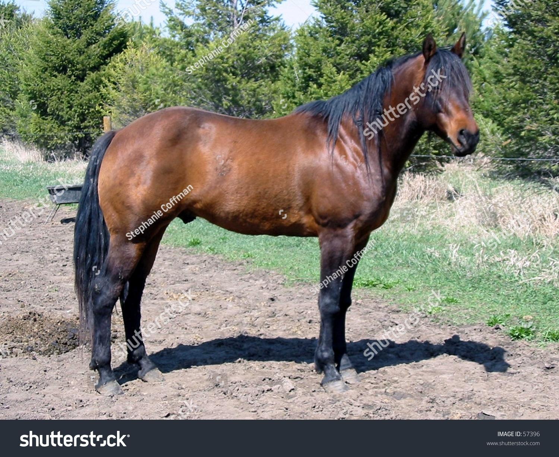 Quarter Horse Stallion Bay