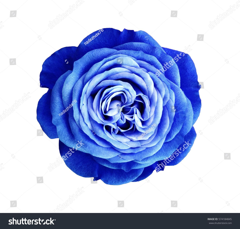 Bluewhite Rose Flower White Isolated Background Stock Photo Edit