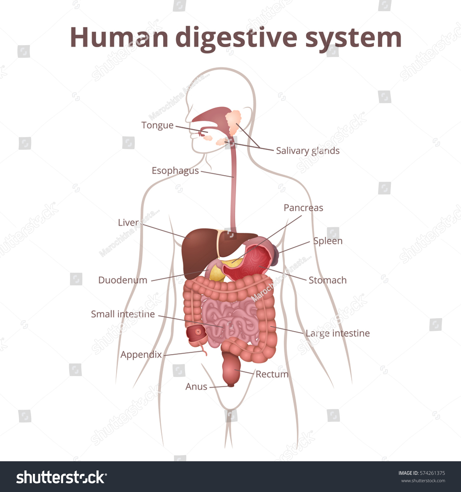 Location Gastrointestinal Tract Body Human Digestive Stock