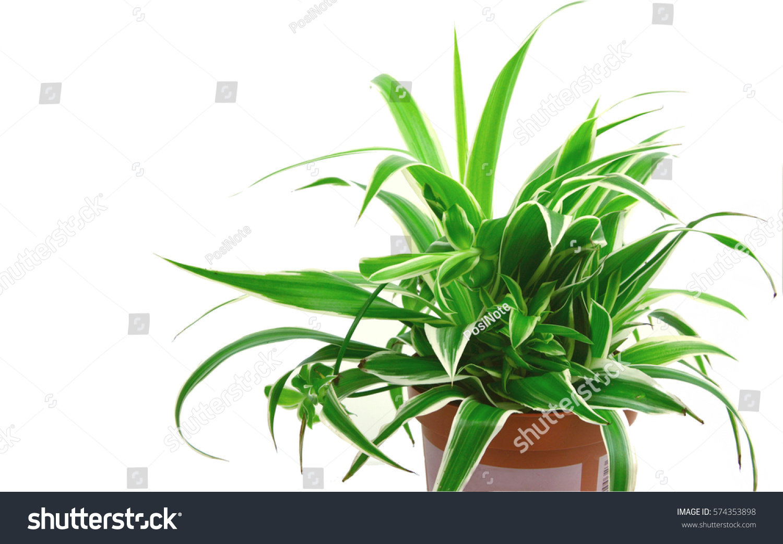spider plant 1 top 10 nasa stock photo 574353898 shutterstock