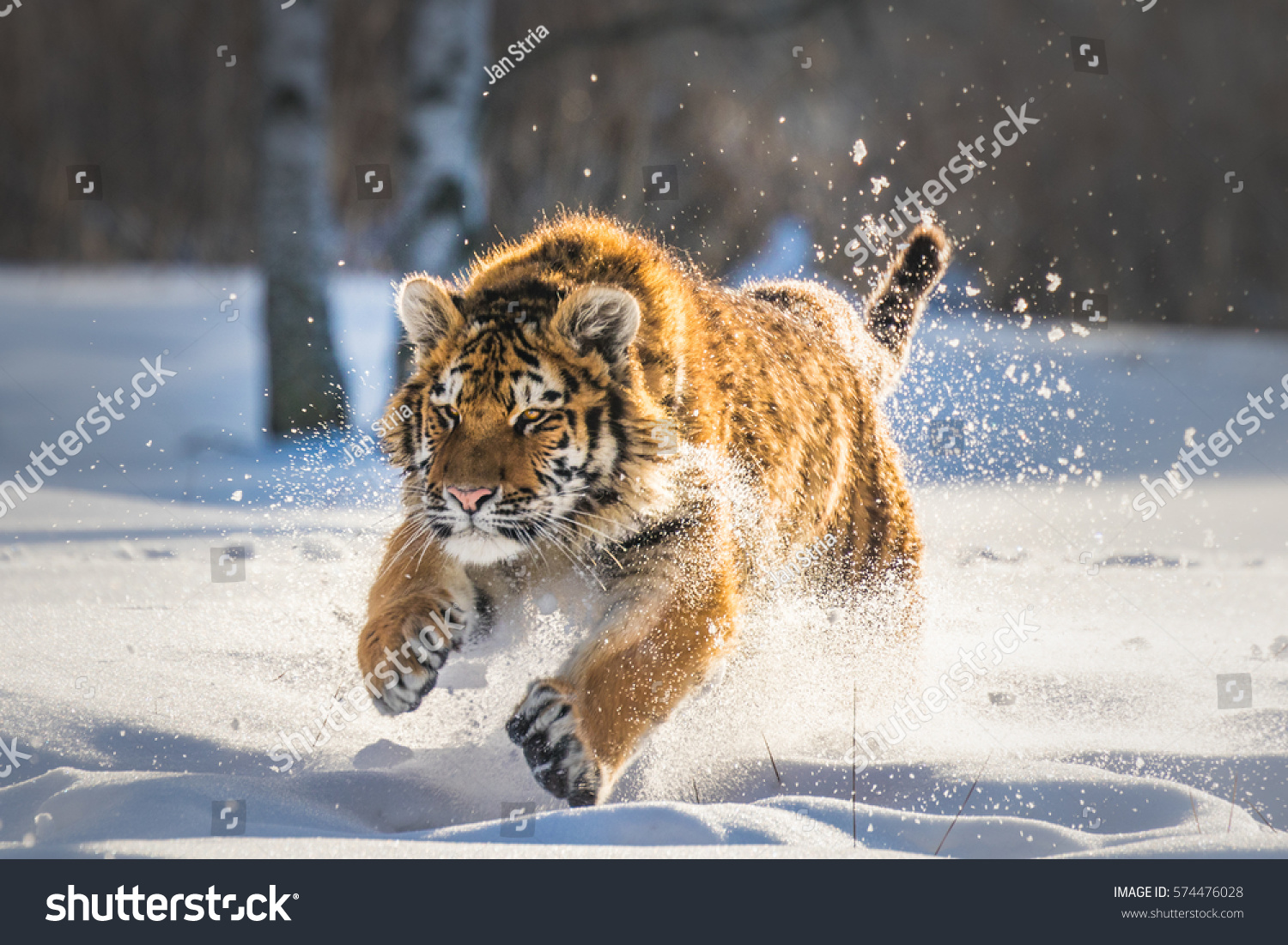 Siberian tiger running snow beautiful dynamic 574476028 siberian tiger running in snow beautiful dynamic and powerful photo of this majestic animal voltagebd Image collections