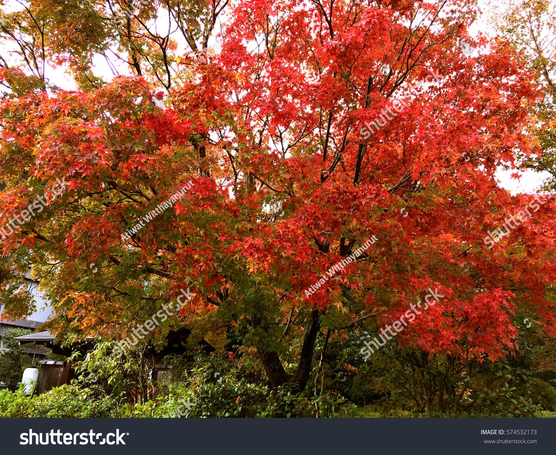 Red maple trees in Japanese garden at Arashiyama Kyoto, Japan | EZ ...