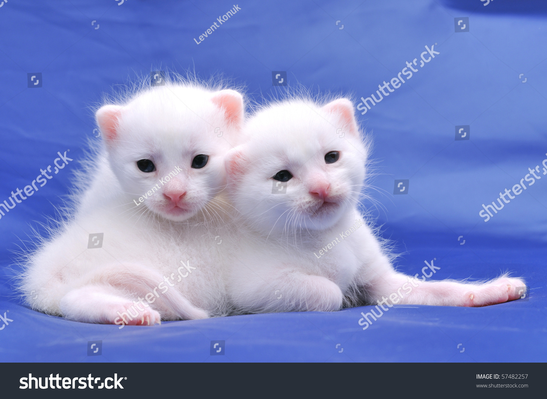 Two Cute White Kittens Blue Stock Shutterstock