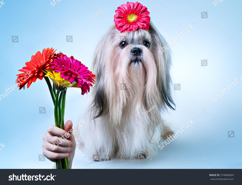 Shihtzu Dog Bouquet Flowers Holiday Concept Stock Photo Royalty