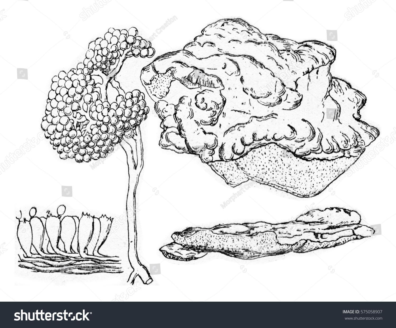 polyporus sulphereus vintage engraved illustration stock
