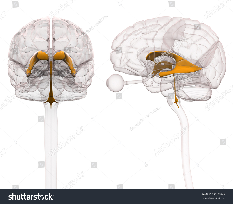 Ventricles Brain Anatomy Stock Illustration 575295169 Shutterstock